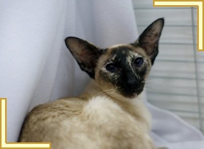 Seal Tortie Point Siamese