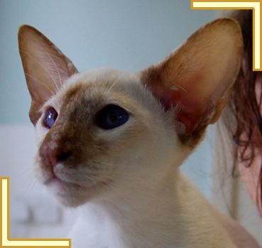 Cinnamon Tortie Point Siamese Cat