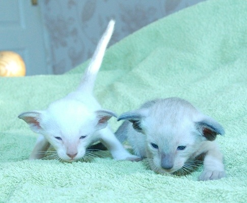 Seal and Chocolate Point Siamese