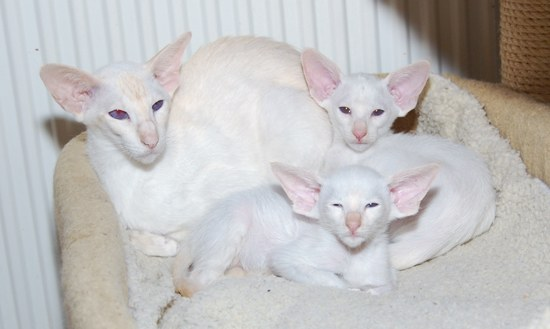 red point Siamese kittens
