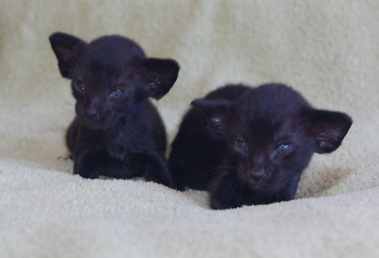 3 Week Old Oriental Kittens