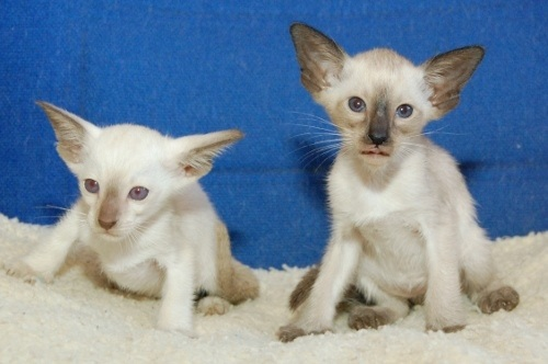 Chocolate and Seal Point Siamese Kittens
