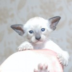 seal point Siamese kitten