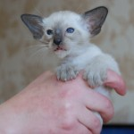 5 week old seal point Siamese kitten