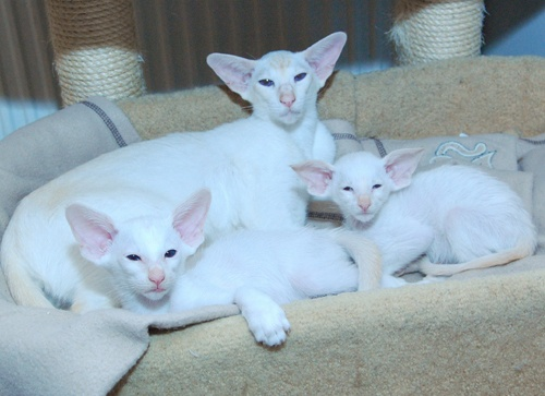 10 week old red point Siamese kittens