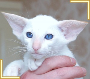 red point Siamese kitten