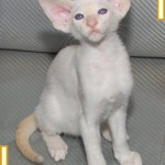 Ten Week Old Red Point Siamese Kitten