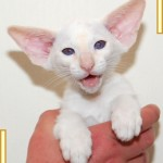 Eleven Week Old Red Point Siamese Kitten