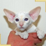Twelve Week Old Red Point Siamese Kitten