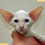 Thirteen Week Old Red Point Siamese Kitten