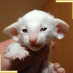Three Week Old Red Point Siamese Kitten