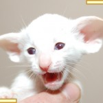 Four Week Old Red Point Siamese Kitten