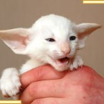 Five Week Old Red Point Siamese Kitten