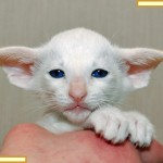 Six Week Old Red Point Siamese Kitten