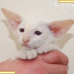 Nine Week Old Red Point Siamese Kitten