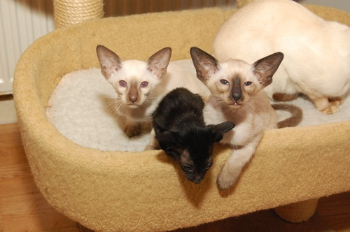 Seal and Chocolate Point Siamese Kittens