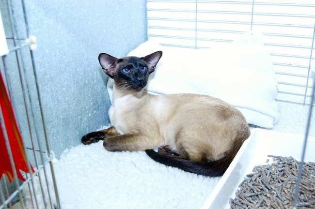 seal point Siamese stud cat